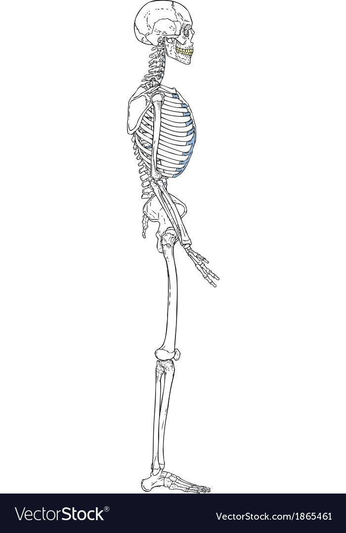 Human skeleton left view vector | Price: 1 Credit (USD $1)