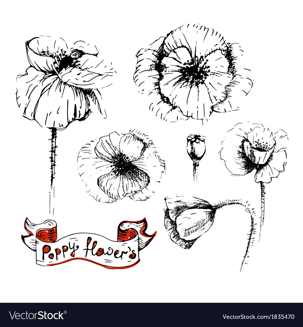 Poppy flowers sketches in different positions vector | Price: 1 Credit (USD $1)