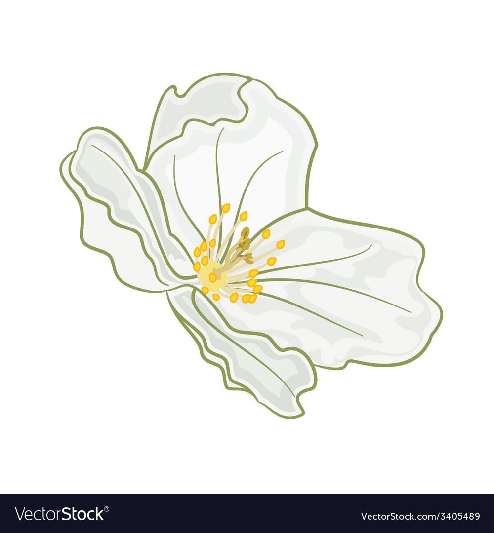 Flower jasmine isolated on a white background vector   Price: 1 Credit (USD $1)