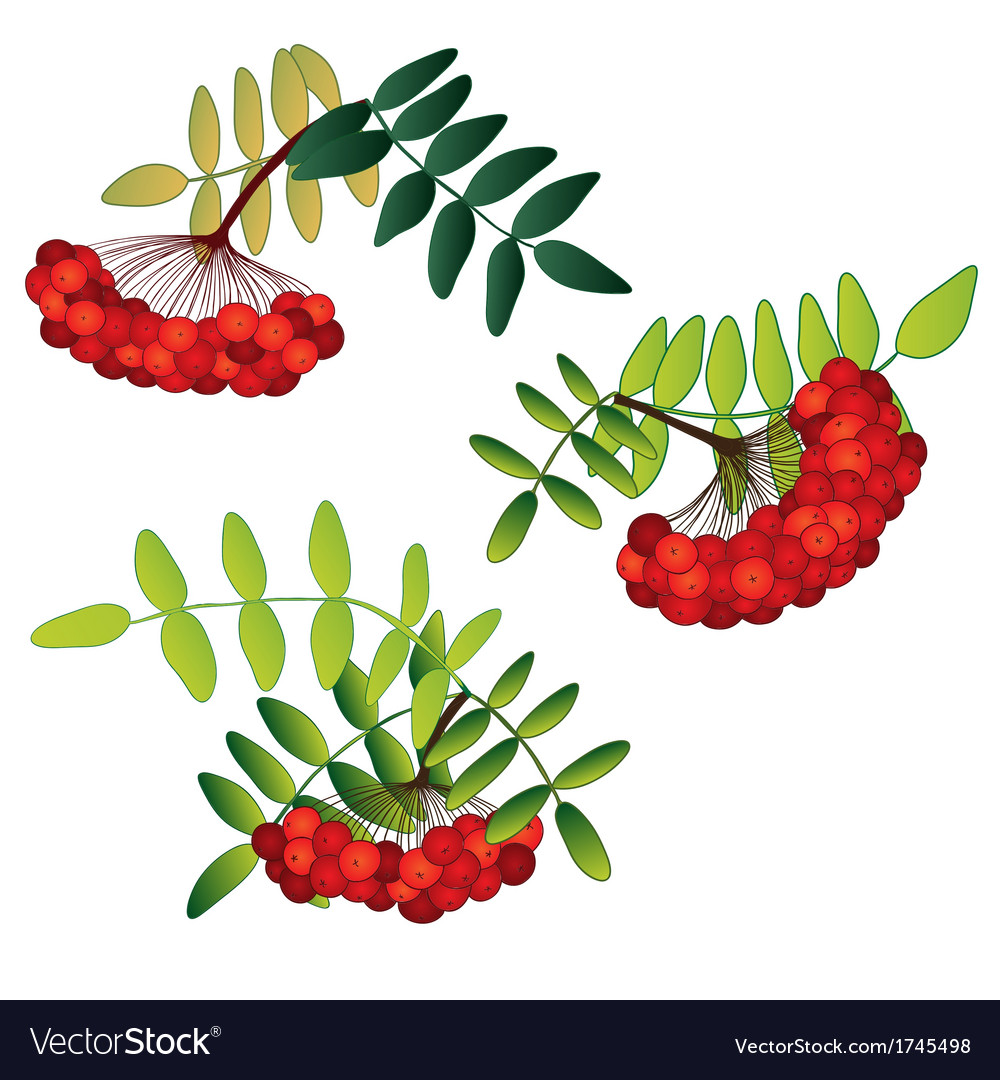 Set of rowan berries with leaves isolated on the vector | Price: 1 Credit (USD $1)