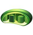Chloroplast vector