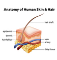Anatomy of human skin and hair vector