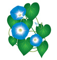 Ipomoea morning glory flower vector