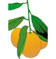 Three mandarins vector