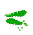 Fresh green peppercorns ripening on a branch vector