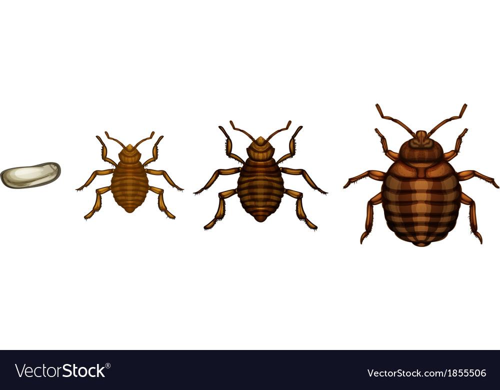 Bed bug life cycle - cimex lectularius vector | Price: 1 Credit (USD $1)