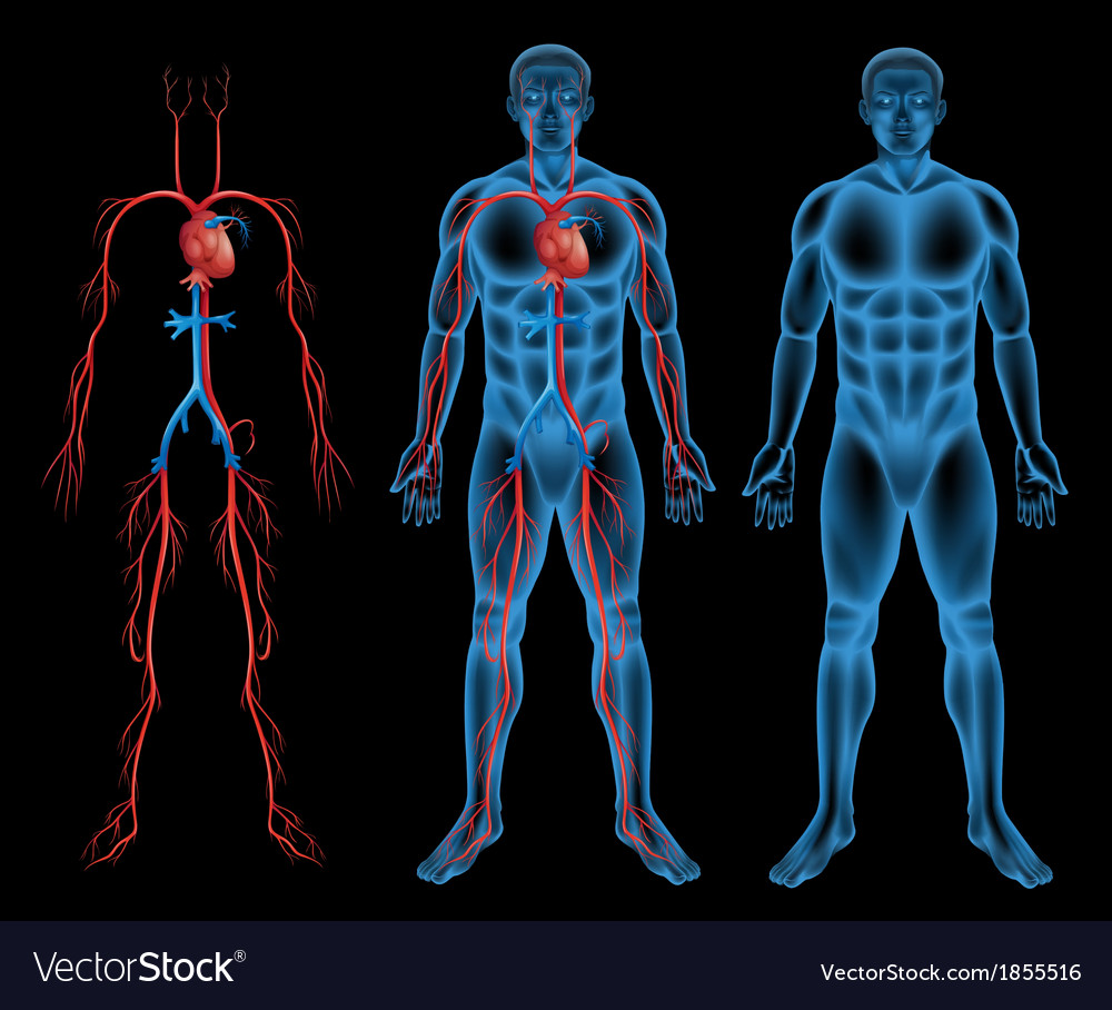 Male circulatory system vector | Price: 1 Credit (USD $1)