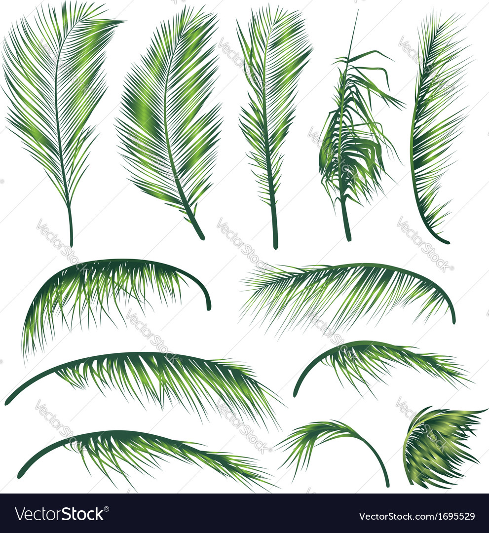 Palm tree leaves vector | Price: 1 Credit (USD $1)