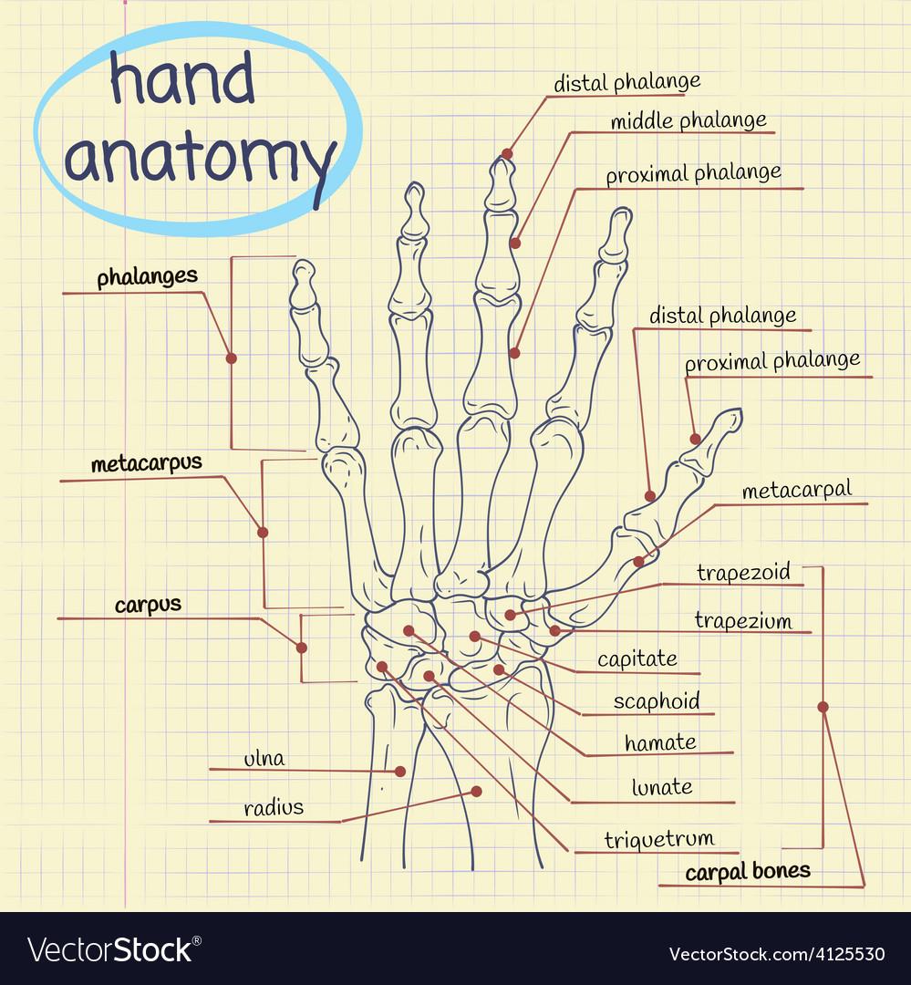 Hand anatomy vector | Price: 1 Credit (USD $1)