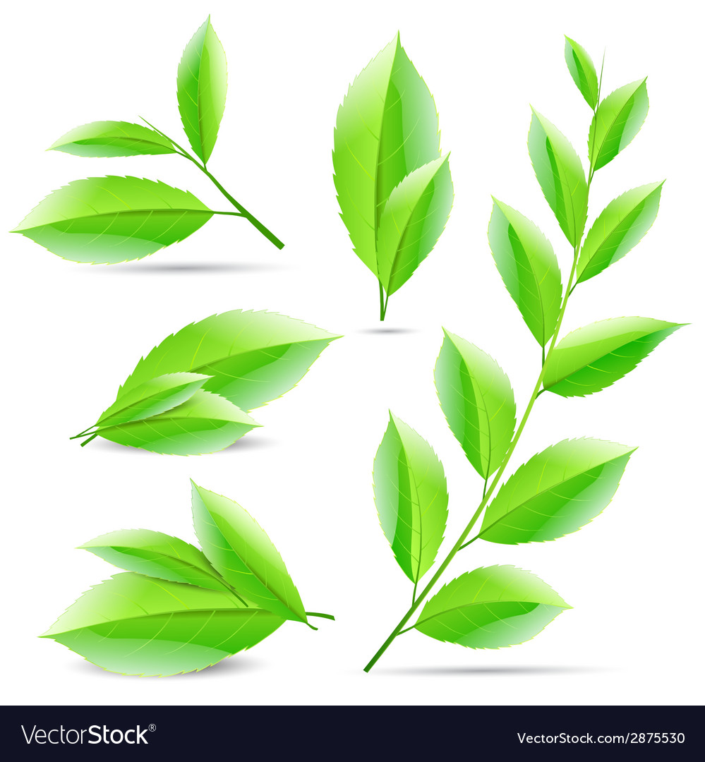 Set of a collage of green tea leaves vector | Price: 1 Credit (USD $1)
