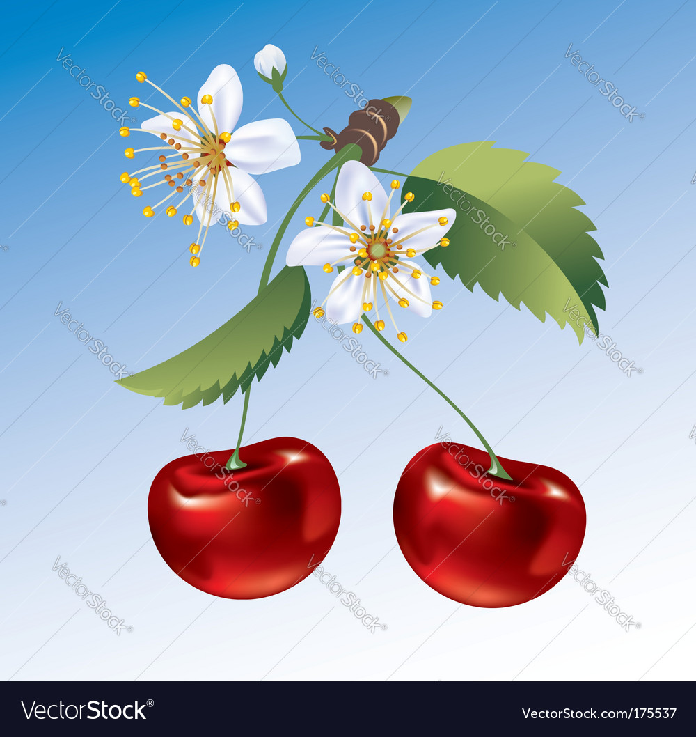 Cherry the fruit and flowers vector | Price: 1 Credit (USD $1)