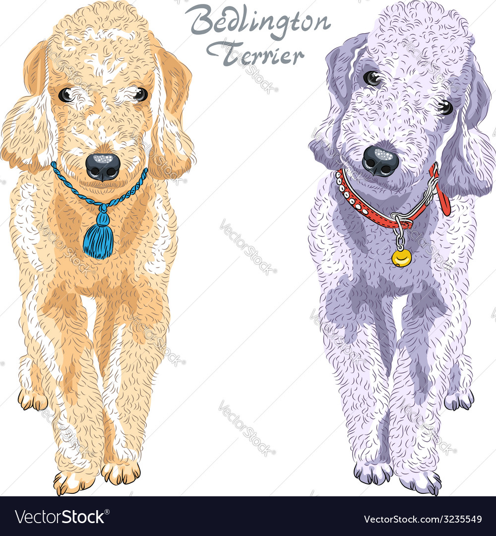 Two dogs bedlington terrier breed vector | Price: 1 Credit (USD $1)