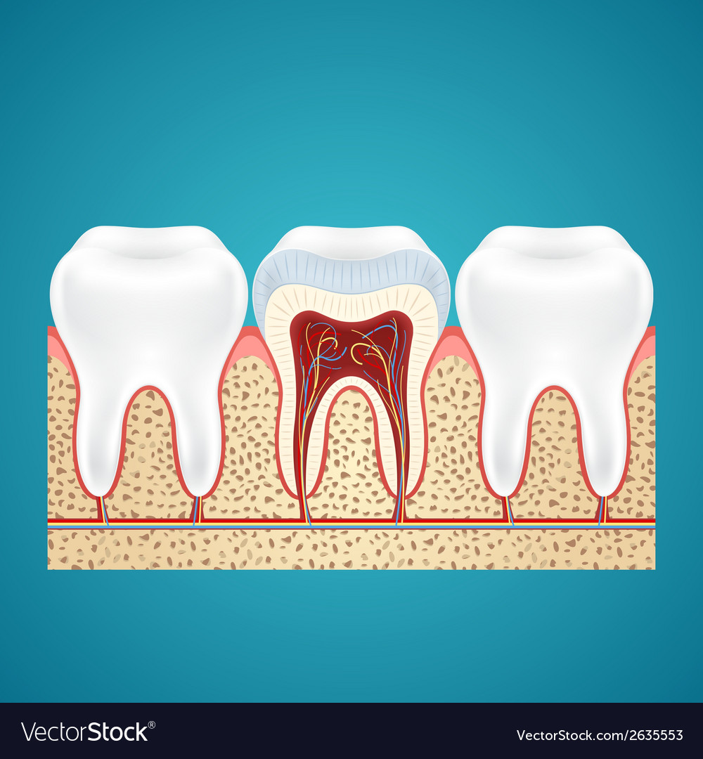 Three healthy human tooth vector | Price: 1 Credit (USD $1)
