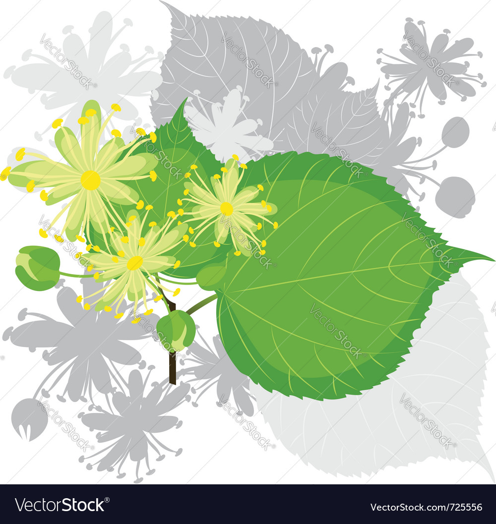 Linden flowers with foliage vector | Price: 1 Credit (USD $1)