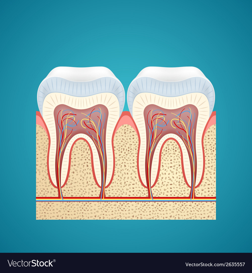 Two healthy human tooth in cutaway vector | Price: 1 Credit (USD $1)