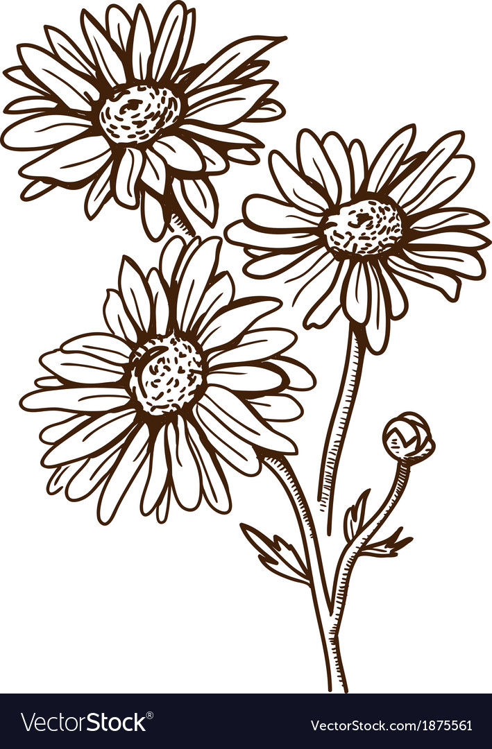 Camomile flower isolated on white vector | Price: 1 Credit (USD $1)