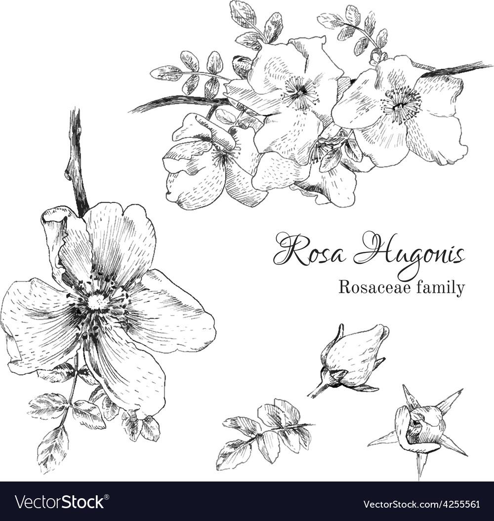 Rosa hugonis ink sketch vector | Price: 1 Credit (USD $1)