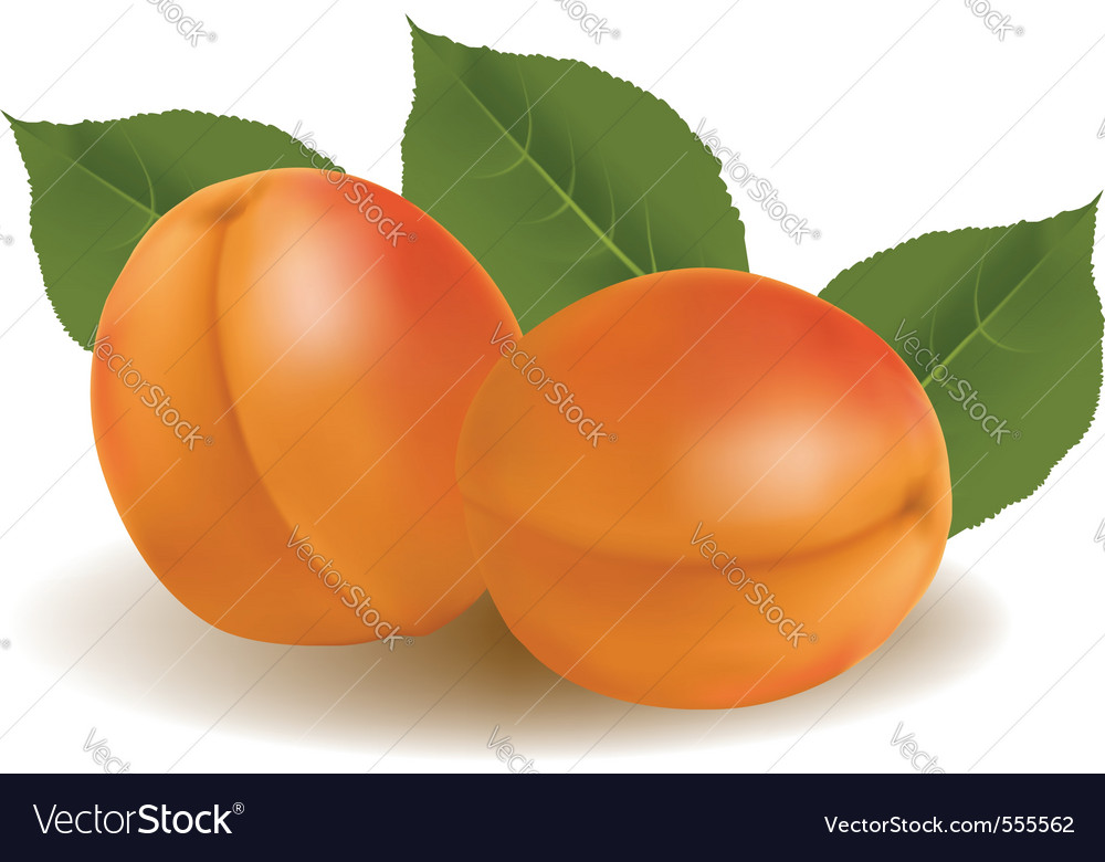 Ripe apricots vector | Price: 1 Credit (USD $1)