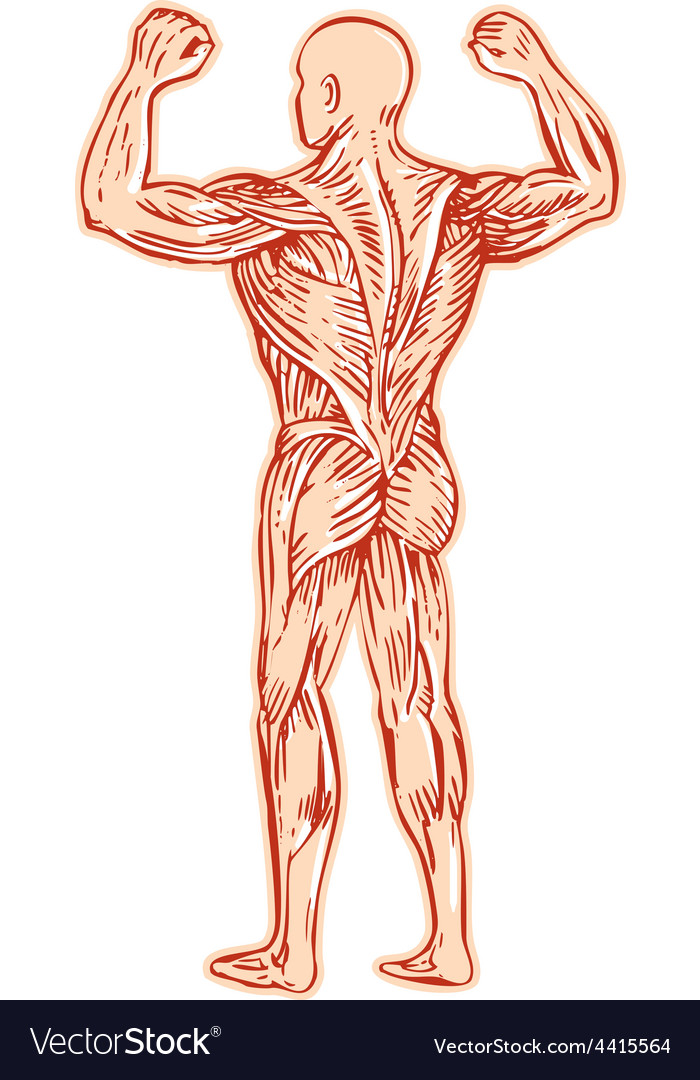 Human muscular system anatomy etching vector | Price: 1 Credit (USD $1)
