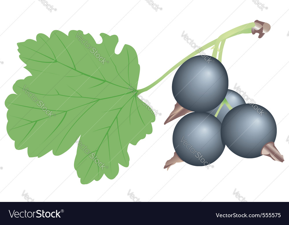 Black currant vector | Price: 1 Credit (USD $1)