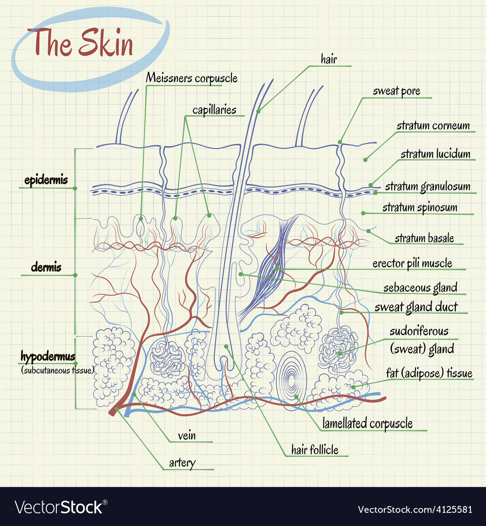 Skin anatomy vector | Price: 1 Credit (USD $1)
