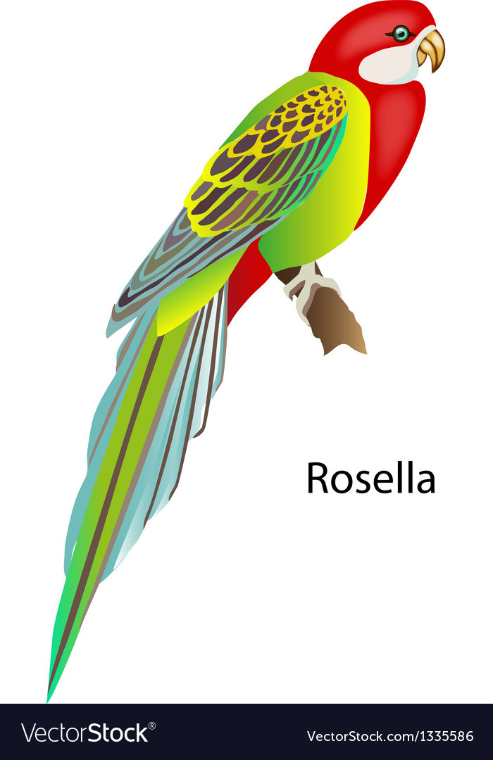 Parrot rosella vector | Price: 1 Credit (USD $1)