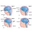 Brain development in the human fetus vector