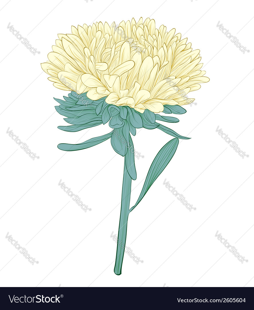 Aster flower isolated on white background vector | Price: 1 Credit (USD $1)