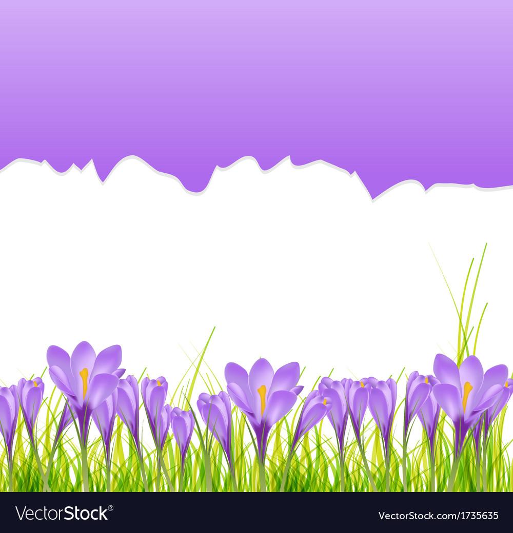 Crocus flower background vector   Price: 1 Credit (USD $1)