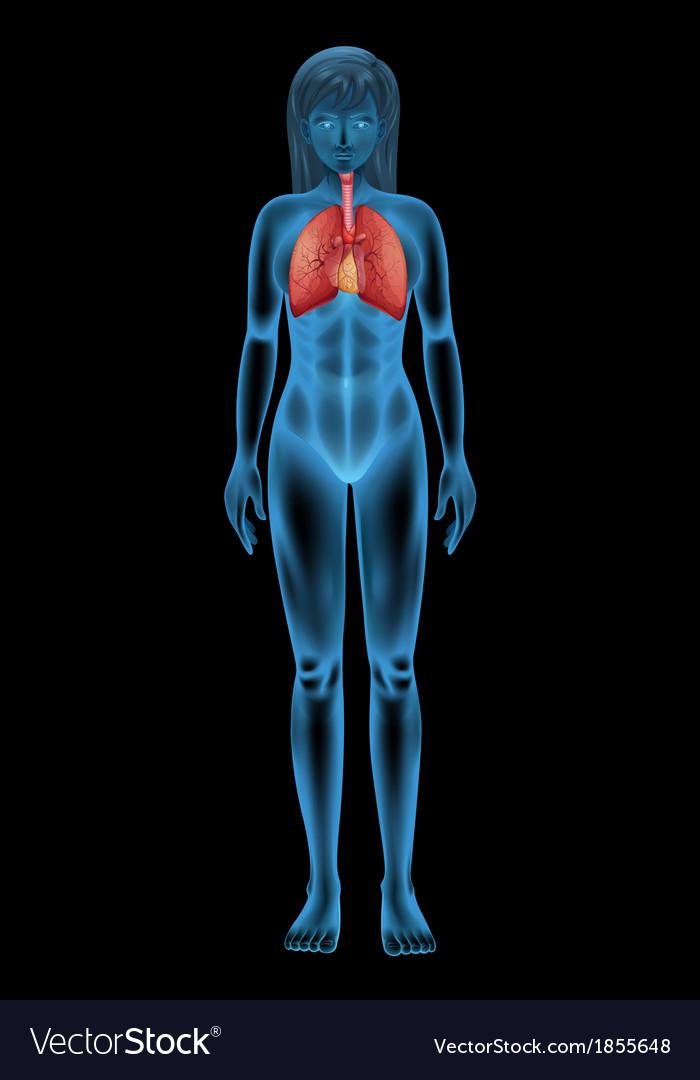Human respiratory system vector   Price: 1 Credit (USD $1)