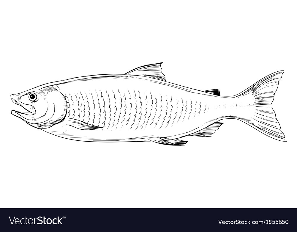 Atlantic salmon vector | Price: 1 Credit (USD $1)