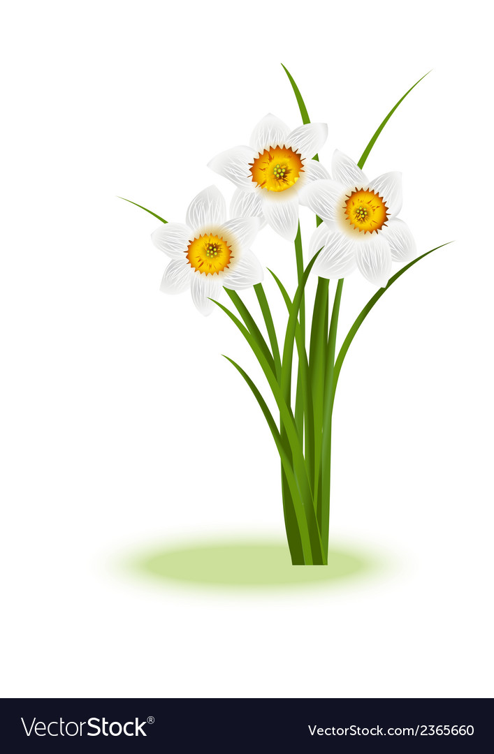 Daffodill white vector | Price: 1 Credit (USD $1)