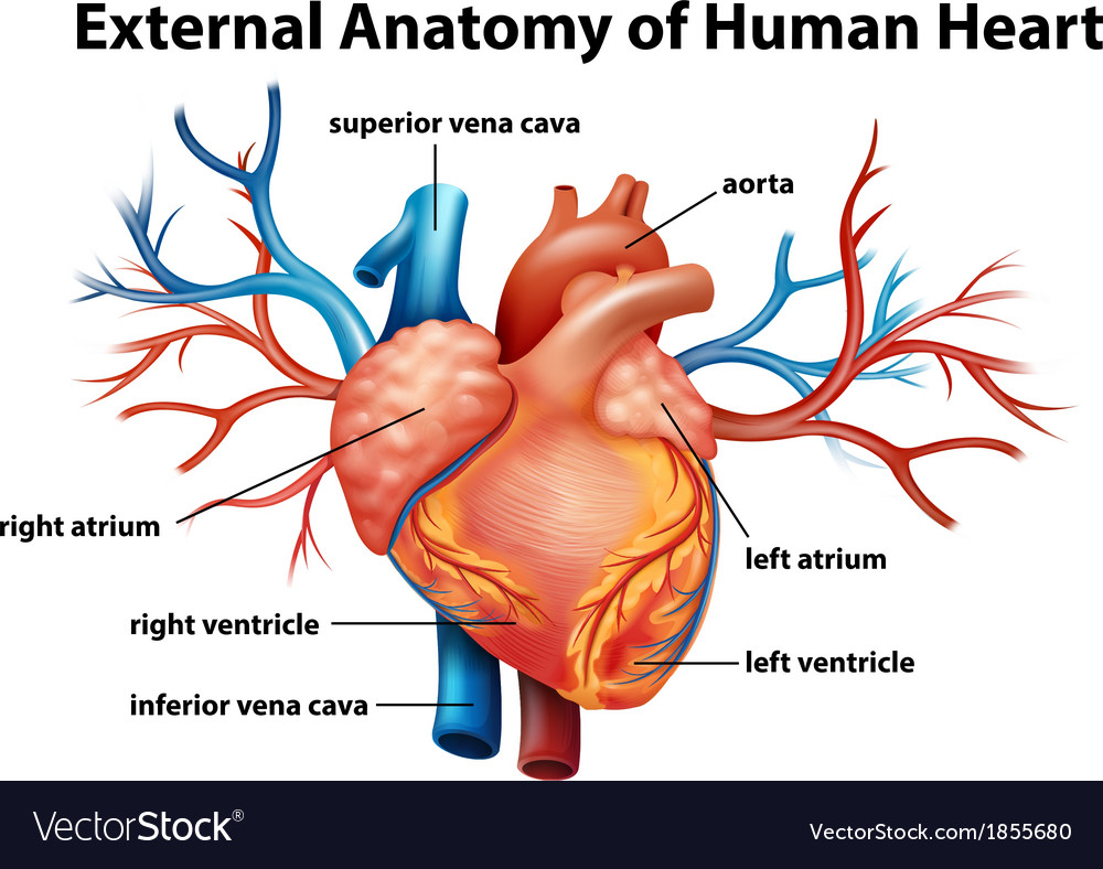 Anatomy of the human heart vector | Price: 1 Credit (USD $1)