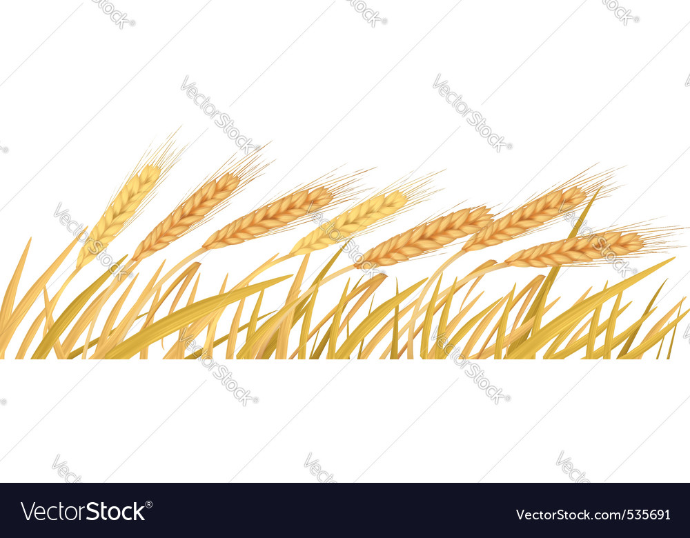 Ripe yellow wheat ears vector | Price: 1 Credit (USD $1)