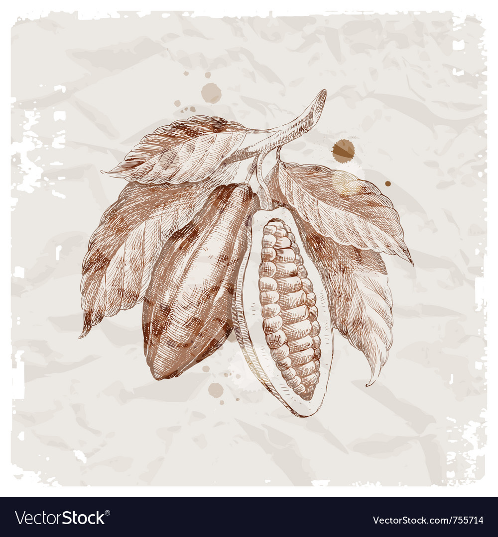 Hand drawn cocoa beans vector | Price: 1 Credit (USD $1)