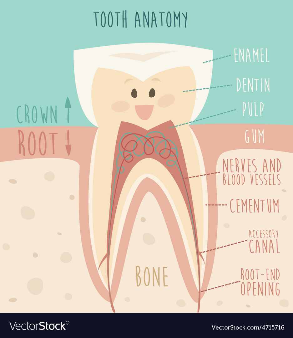 Tooth anatomy funny tooth concept of healthy vector | Price: 1 Credit (USD $1)