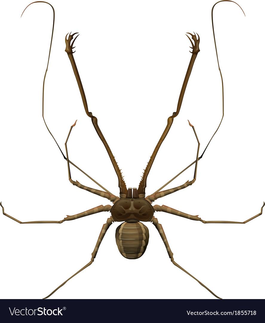 Amblypygi - genus vector | Price: 1 Credit (USD $1)