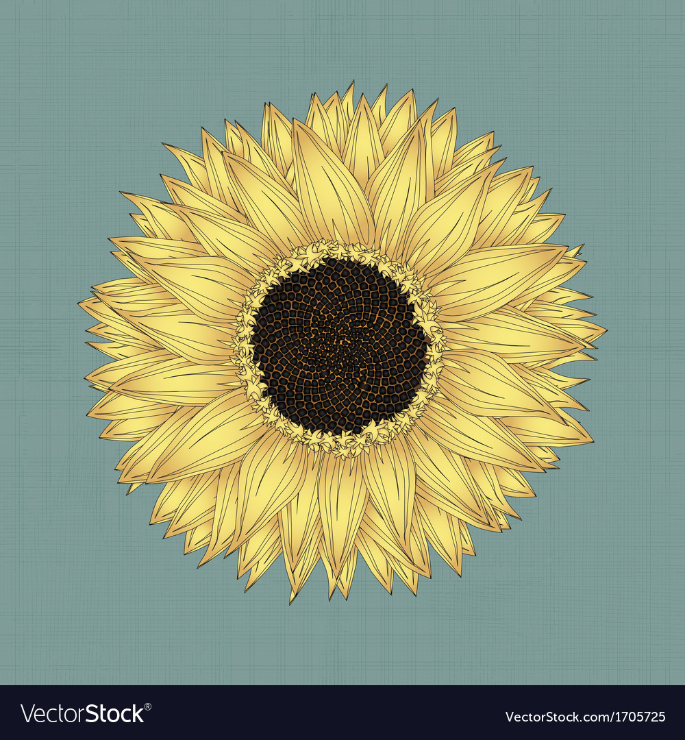Sunflower drawing vector | Price: 1 Credit (USD $1)