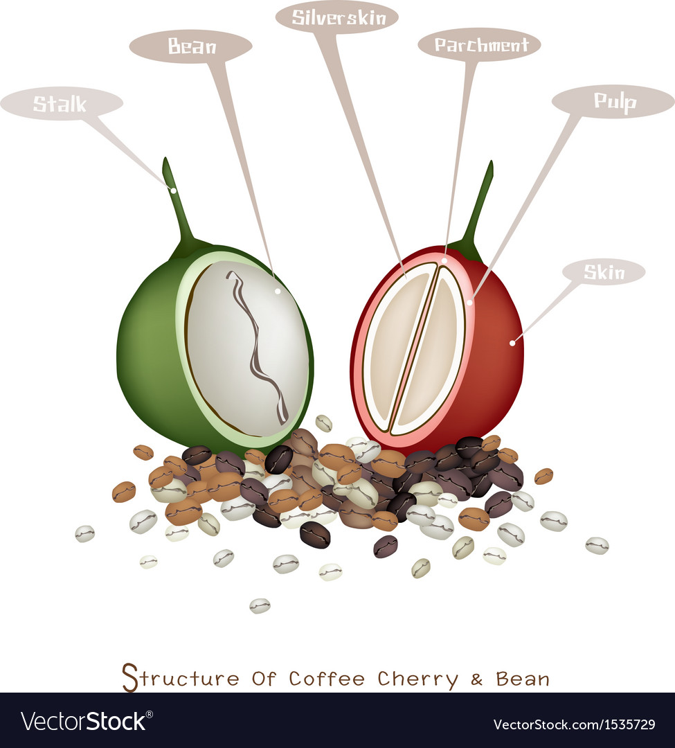 Structure of ripe and unripe coffee berries vector | Price: 1 Credit (USD $1)