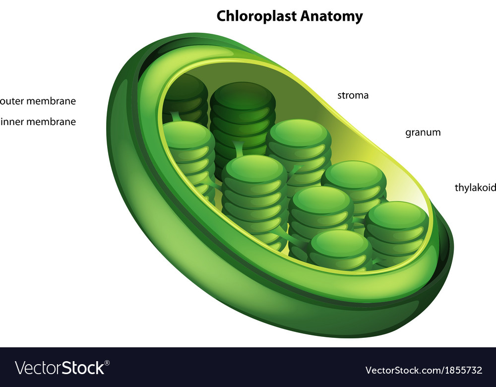 Choloroplast vector | Price: 1 Credit (USD $1)