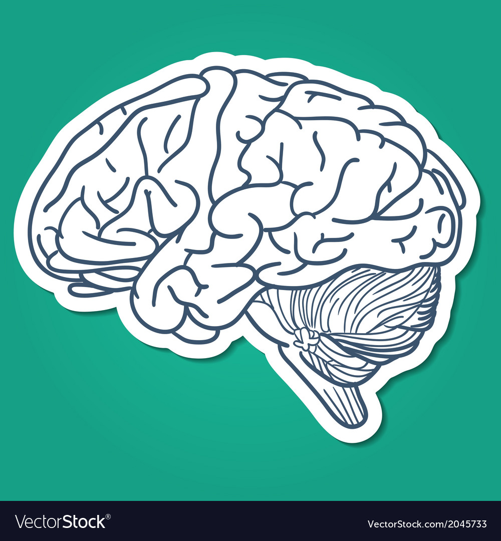 Anatomical brain human organ vector | Price: 1 Credit (USD $1)