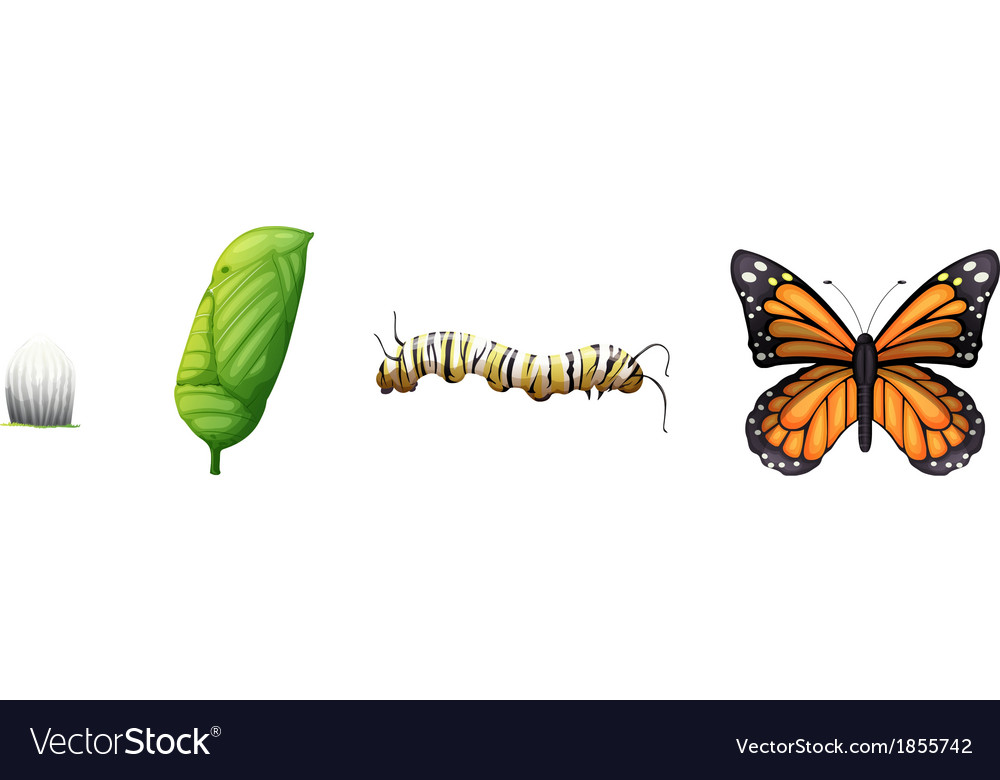 Life cycle of a monarch butterfly vector | Price: 1 Credit (USD $1)