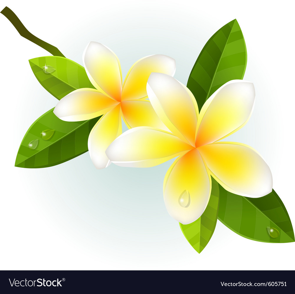 Frangiapani flowers isolated vector | Price: 1 Credit (USD $1)