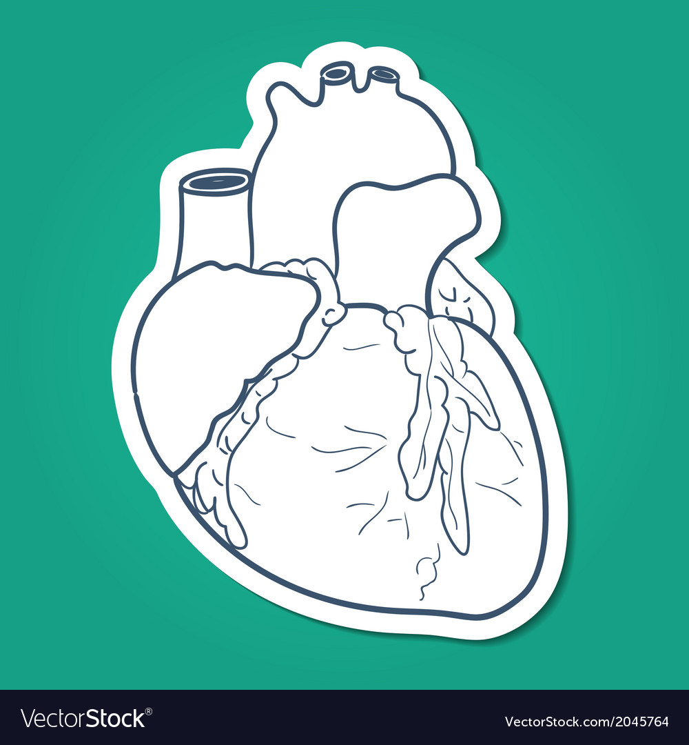 Anatomical heart human organ vector | Price: 1 Credit (USD $1)