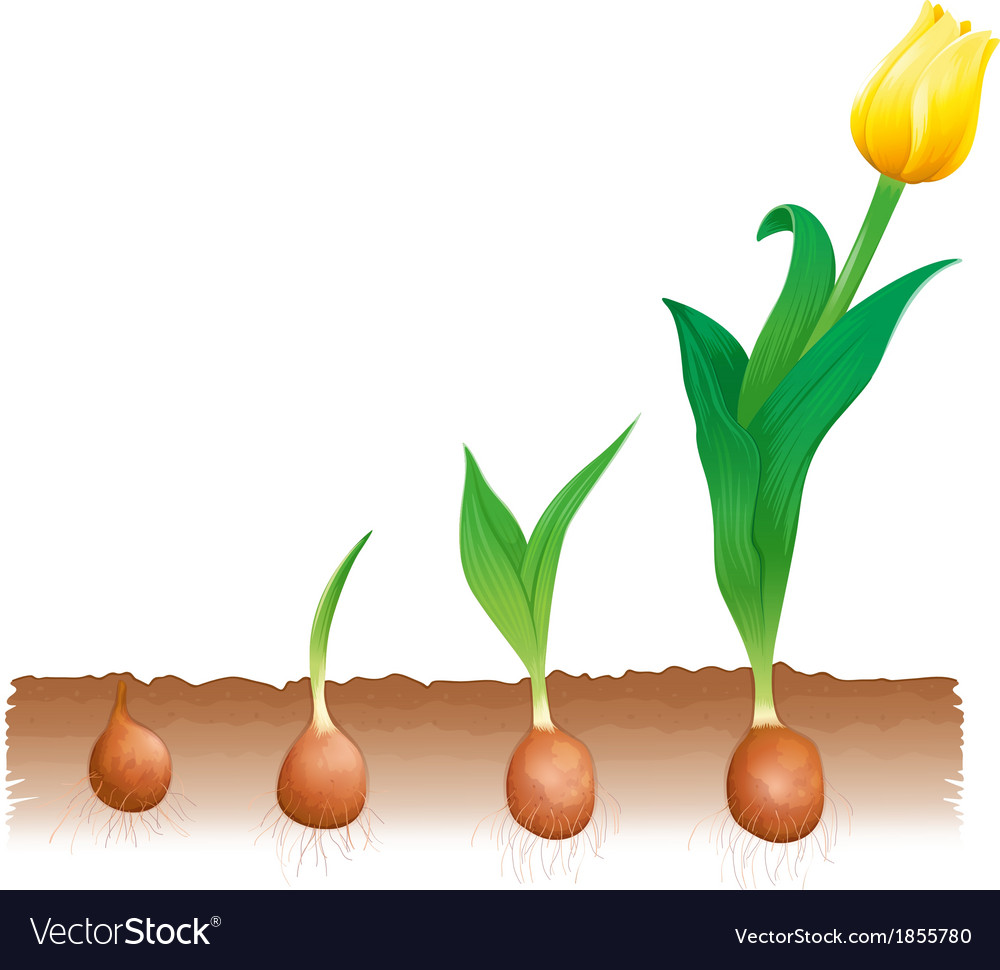 Tulip growth vector | Price: 1 Credit (USD $1)