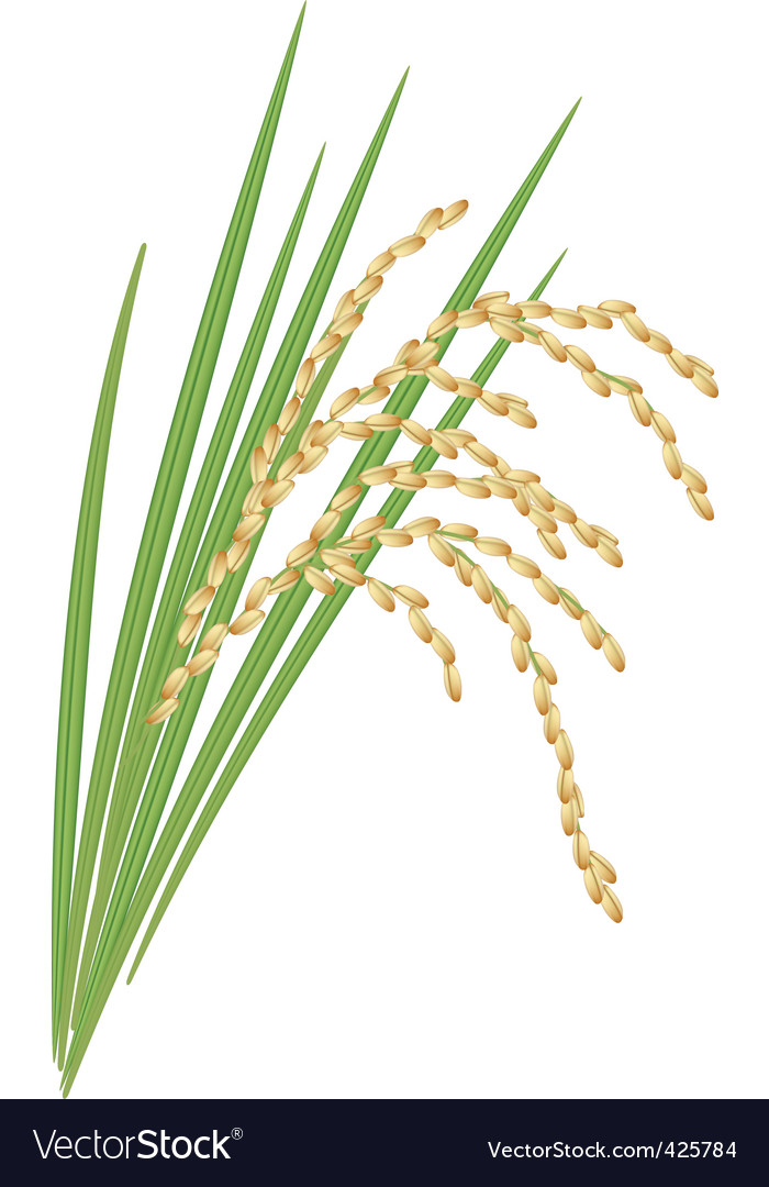 Spikelet of rice vector | Price: 1 Credit (USD $1)