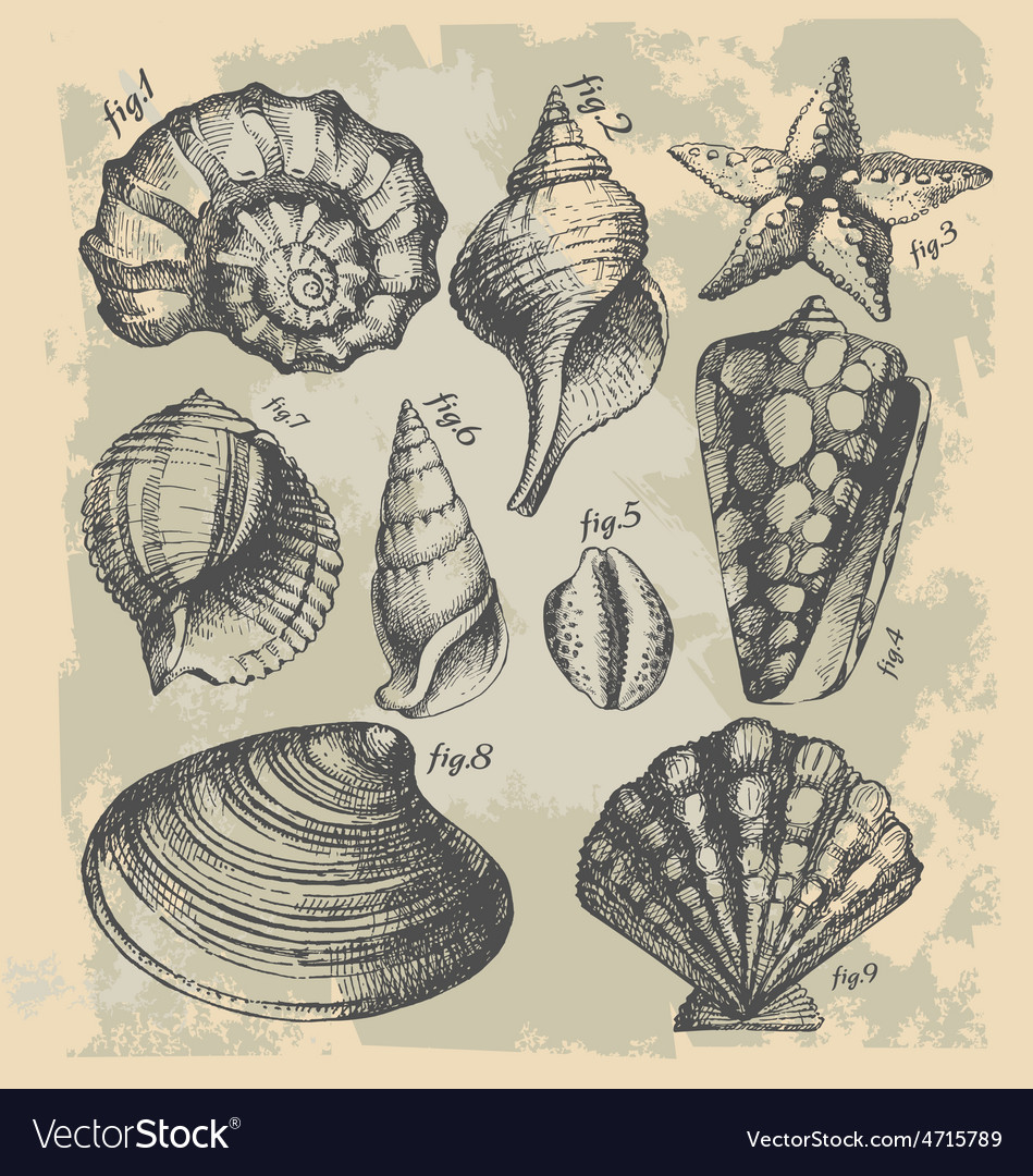 Vintage drawing of sea shells vector | Price: 1 Credit (USD $1)