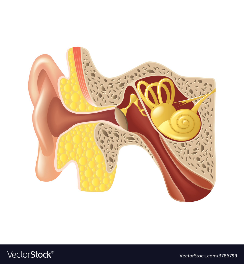 Ear anatomy isolated vector | Price: 3 Credit (USD $3)