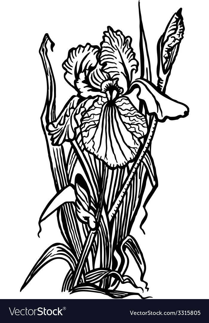 Bouquet of irises vector | Price: 1 Credit (USD $1)