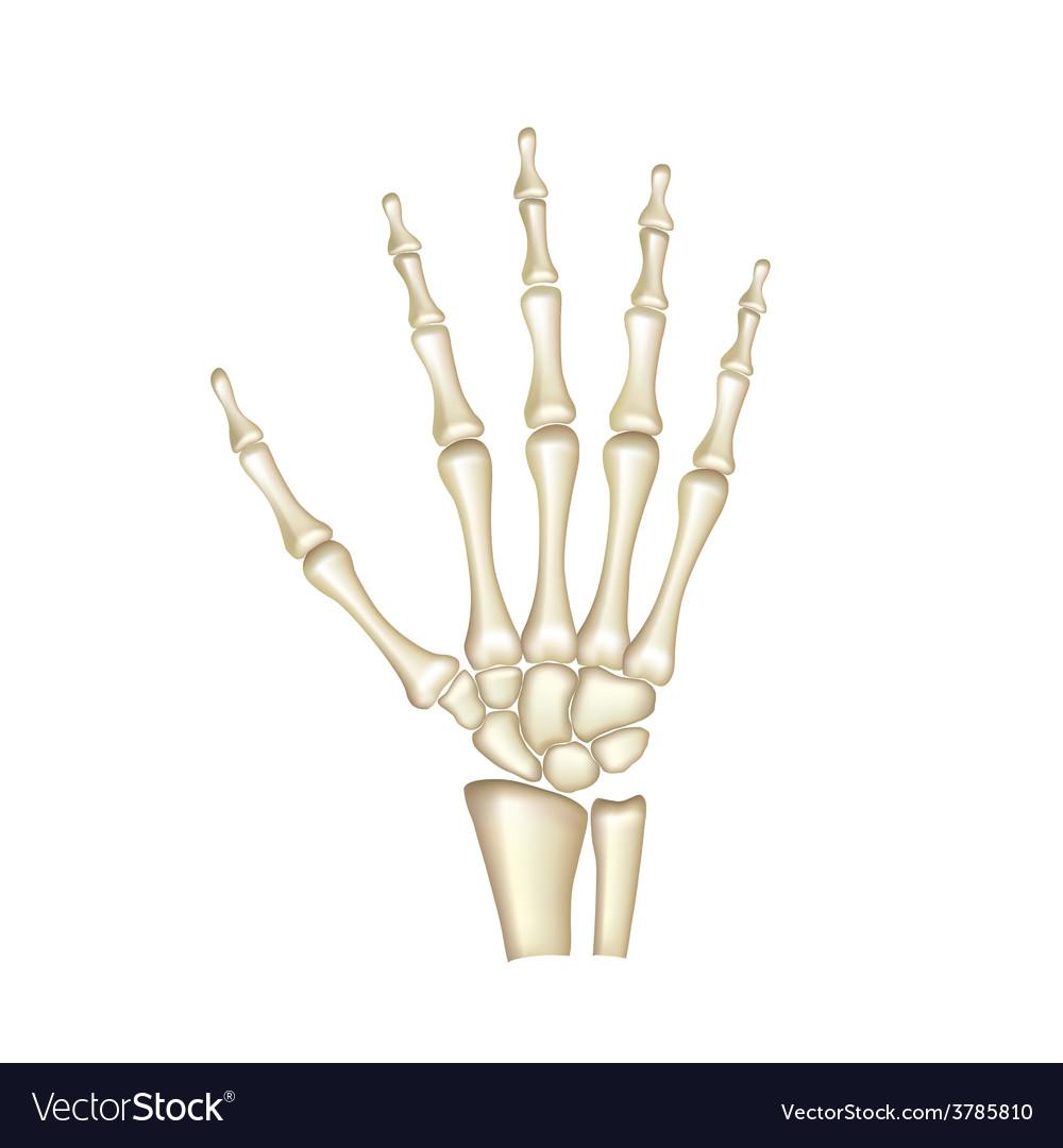 Human hand bones isolated vector   Price: 3 Credit (USD $3)